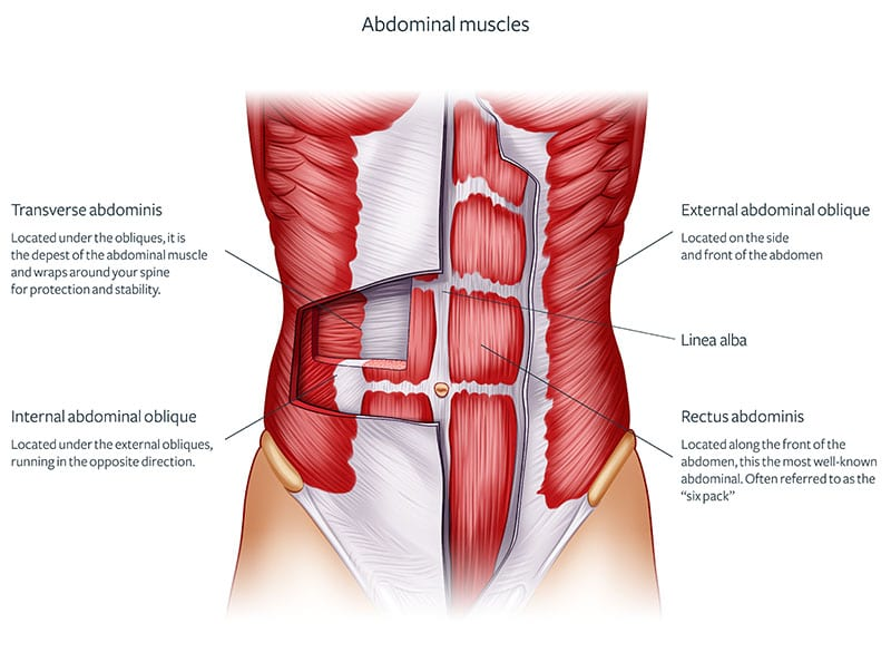 Figure of the abdominal muscles and their parts